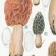 DETAILS 02 | Mycology - Mushroom - Morchella Pl.247