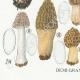 DETAILS 03 | Mycology - Mushroom - Morchella Pl.247