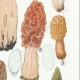 DETAILS 05 | Mycology - Mushroom - Morchella Pl.247