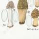 DETAILS 07 | Mycology - Mushroom - Morchella Pl.247
