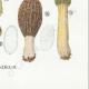 DETAILS 08 | Mycology - Mushroom - Morchella Pl.247