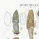 DETALLES 01 | Micología - Seta - Morchella - Helvella Pl.248