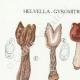 DETAILS 01 | Mycology - Mushroom - Helvella - Gyromitra Pl.249