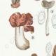 DETAILS 02 | Mycology - Mushroom - Helvella - Gyromitra Pl.249