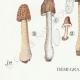 DETAILS 03 | Mycology - Mushroom - Helvella - Gyromitra Pl.249