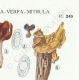 DETAILS 04 | Mycology - Mushroom - Helvella - Gyromitra Pl.249
