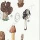 DETAILS 05 | Mycology - Mushroom - Helvella - Gyromitra Pl.249