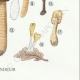 DETAILS 06 | Mycology - Mushroom - Helvella - Gyromitra Pl.249