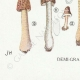 DETAILS 07 | Mycology - Mushroom - Helvella - Gyromitra Pl.249