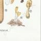 DETAILS 08 | Mycology - Mushroom - Helvella - Gyromitra Pl.249