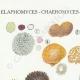 DÉTAILS 01 | Mycologie - Champignon - Elaphomyces - Chaeromyces - Terfezia Pl.250