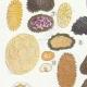 DÉTAILS 02 | Mycologie - Champignon - Elaphomyces - Chaeromyces - Terfezia Pl.250