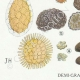 DÉTAILS 03 | Mycologie - Champignon - Elaphomyces - Chaeromyces - Terfezia Pl.250