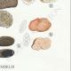 DÉTAILS 06 | Mycologie - Champignon - Elaphomyces - Chaeromyces - Terfezia Pl.250