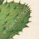 DETTAGLI 04 | Fiori di Palestina - Opuntia Ficus Indica