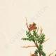 DETTAGLI 01 | Fiori di Palestina - Poterium Spinosum