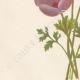 DETAILS 02 | Flowers of Palestine - Anemone Coronaria