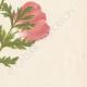 DETAILS 04 | Flowers of Palestine - Anemone Coronaria