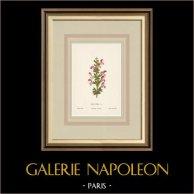 Flowers of Palestine - Indian Sage