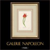 Fiori di Palestina - Tulipa Praecox