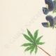 DETTAGLI 02 | Fiori di Palestina - Lupinus Pilosus