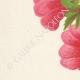 DETTAGLI 02 | Fiori di Palestina - Alcea Lavateraeflora