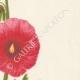 DETTAGLI 05 | Fiori di Palestina - Alcea Lavateraeflora