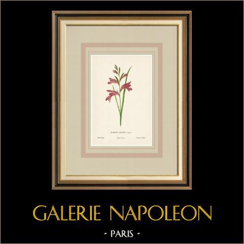 Blommor av Palestina - Gladiolus Aleppicus | Original kromolitografi efter Hanna Zeller. 1876
