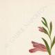 DETTAGLI 01 | Fiori di Palestina - Gladiolus Aleppicus