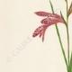 DETAILS 02 | Flowers of Palestine - Sword-flag
