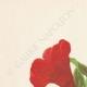 DETAILS 01   Flowers of Palestine - Pomegranate