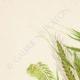 DETAILS 01 | Flowers of Palestine - Palestine Grass
