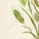 DETAILS 02 | Flowers of Palestine - Palestine Grass