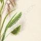 DETAILS 04 | Flowers of Palestine - Palestine Grass