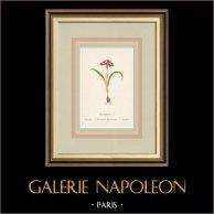 Fleurs de Palestine - Iris Naine