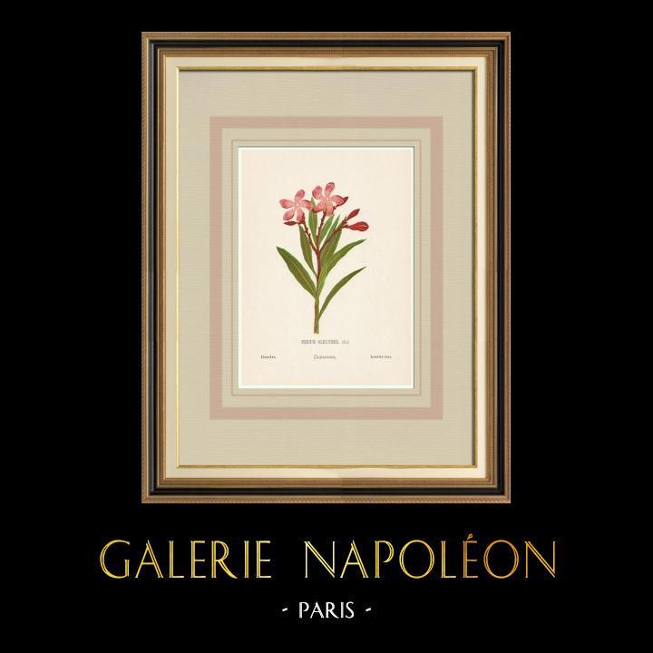 Stampe Antiche & Disegni | Fiori di Palestina - Nerium Oleander | Cromolitografia | 1876