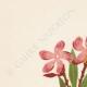 DETTAGLI 01 | Fiori di Palestina - Nerium Oleander