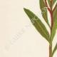 DETTAGLI 02 | Fiori di Palestina - Nerium Oleander