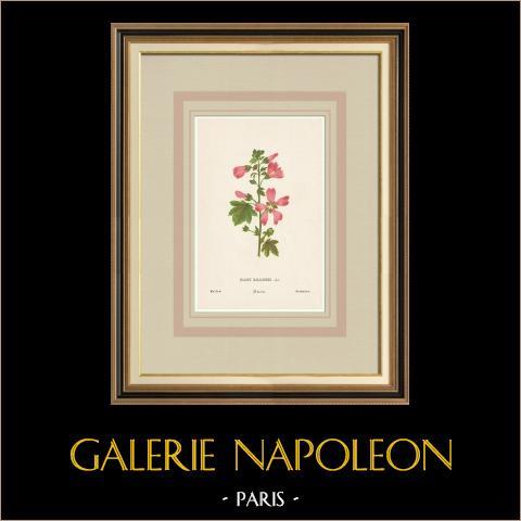 Blommor av Palestina - Malope Malacoides | Original kromolitografi efter Hanna Zeller. 1876