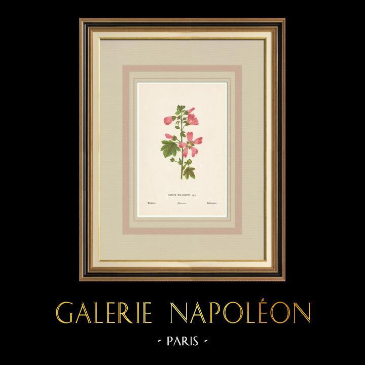 Grabados & Dibujos Antiguos | Flores de Palestina - Malope Malacoides | Cromolitografía | 1876