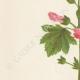 DETALLES 02 | Flores de Palestina - Malope Malacoides