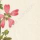 DETALLES 05 | Flores de Palestina - Malope Malacoides