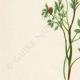 DETTAGLI 02 | Fiori di Palestina - Fumaria Anatolica - Ceratocapnos Palaestina