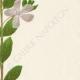 DETAILS 05   Flowers of Palestine - Periwinkle