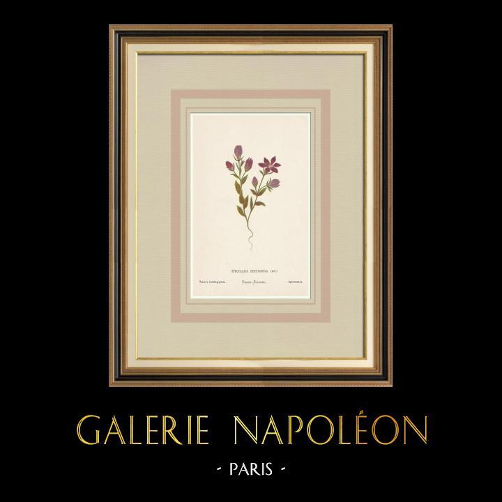Grabados & Dibujos Antiguos | Flores de Palestina - Specularia Pentagonia | Cromolitografía | 1876