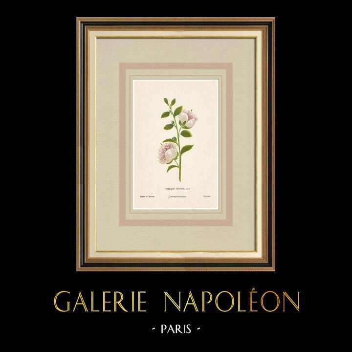 Grabados & Dibujos Antiguos | Flores de Palestina - Capparis Spinosa | Cromolitografía | 1876