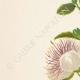DETALLES 02 | Flores de Palestina - Capparis Spinosa