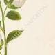 DETALLES 05 | Flores de Palestina - Capparis Spinosa