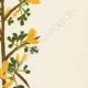 DETAILS 05 | Flowers of Palestine - Prickly Broom
