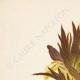 DETALLES 01 | Flores de Palestina - Acanthus Dioscoridis